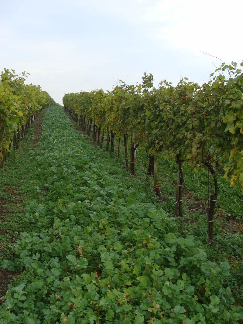 Leth Vineyards with COver Crop